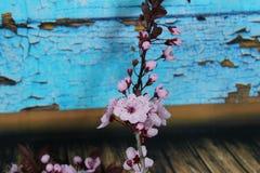 PRUNUS CERASIFERA/ `PISSARDII NIGRA`/cherry plum/myrobalan plum Royalty Free Stock Images