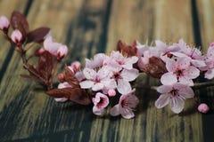 PRUNUS CERASIFERA/ `PISSARDII NIGRA`/cherry plum/myrobalan plum Royalty Free Stock Photos