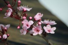 PRUNUS CERASIFERA/ `PISSARDII NIGRA`/cherry plum/myrobalan plum Royalty Free Stock Photo