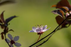 Prunus Cerasifera Pissardii Tree blossom with pink flowers. Spring twig of Cherry, Prunus cerasus royalty free stock image