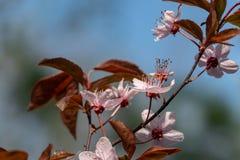 Prunus Cerasifera Pissardii Tree blossom with pink flowers. Spring twig of Cherry. Prunus cerasus on  beautiful blurred natural garden background. Selective royalty free stock image