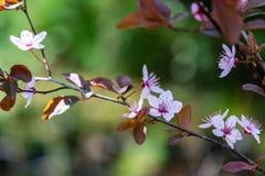 Prunus Cerasifera Pissardii Tree blossom with pink flowers. Spring twig of Cherry. Prunus cerasus on  beautiful green blurred natural garden background stock photos