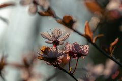 Prunus Cerasifera Pissardii Tree blossom with pink flowers. Spring twig of Cherry, Prunus cerasu. S on  beautiful blurred natural garden background. Selective stock images