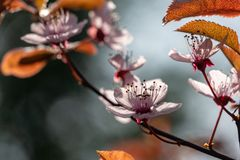 Prunus Cerasifera Pissardii Tree blossom with pink flowers. Spring twig of Cherry, Prunus cerasus on  beautiful blurred. Natural garden background. Selective stock images