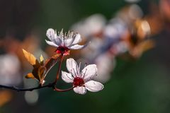 Prunus Cerasifera Pissardii Tree blossom with pink flowers. Spring twig of Cherry, Prunus cerasus on  beautiful blurred. Natural garden background. Selective royalty free stock photography