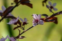 Prunus Cerasifera Pissardii Tree blossom with pink flowers. Spring twig of Cherry, Prunus cerasus. On  beautiful green blurred natural garden background stock image