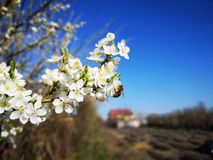 Prunus cerasifera flowers and bee. Prunus cerasifera is a species of plum known by the common names cherry plum and myrobalan plum. It is native to Southeast stock photos