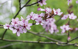 Prunus cerasifera 'Thundercloud' Stock Images