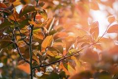 Prunus cerasifera var. pissardii Stock Images