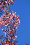 Prunus cerasoides ή άγριο κεράσι Himalayan ή βύσσινο Στοκ φωτογραφία με δικαίωμα ελεύθερης χρήσης