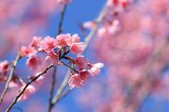 Prunus cerasoides ή άγριο κεράσι Himalayan ή βύσσινο Στοκ Εικόνες