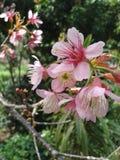 Prunus cerasoides Στοκ εικόνα με δικαίωμα ελεύθερης χρήσης