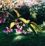 Prunus cerasoides Stockfotografie