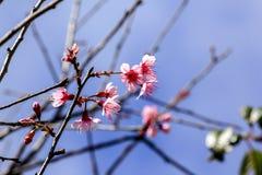 Prunus cerasoides blooming in nature. royalty free stock photo