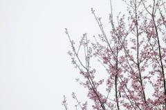 Prunus cerasoides blühen plötzlich geblüht wenn das Winterwetter mit dem Himmel als der Hintergrund stockfotografie