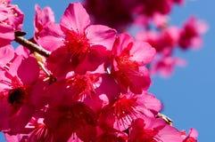 Prunus cerasoides bloem Royalty-vrije Stock Foto