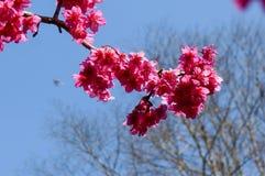 Prunus cerasoides bloem Stock Foto