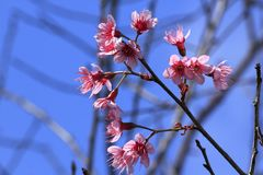 Prunus cerasoides that bloom beautifully in nature. royalty free stock image