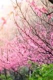 Prunus cerasoides. On blur background Royalty Free Stock Photo