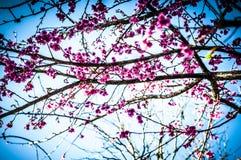 Prunus cerasoides in Chiang Mai in Thailand stock afbeeldingen