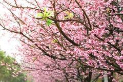 Prunus cerasoides flower. Prunus cerasoides on blur background Royalty Free Stock Photo
