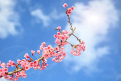 Prunus cerasoides flower in Chiangmai, Thailand Stock Photography