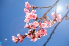 Prunus cerasoides flower in Chiangmai, Thailand Stock Images