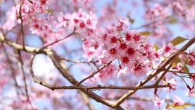 Prunus cerasoides, het roze bloem bloeien stock footage