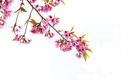 Prunus cerasoides Royalty Free Stock Photos