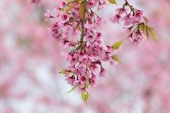 Prunus cerasoides Royalty Free Stock Image