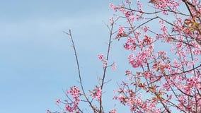 Prunus cerasoides im Naturpark stock video footage