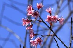 Prunus cerasoides które kwitną pięknie w naturze obraz royalty free