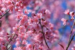 Prunus cerasoides lub dzika Himalajska wiśnia wiśni lub kwaśnej Zdjęcia Stock