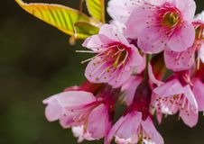 Prunus Cerasoides Stock Photography