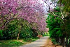 Prunus cerasoides oder wilde Himalajakirsche Lizenzfreies Stockbild