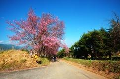 Prunus Cerasoides Stock Image