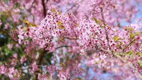 Prunus cerasoides, rosa Blumenblühen stock video footage