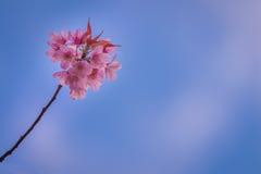 Prunus cerasoides, Sakura in Thailand. Blue sky Stock Images