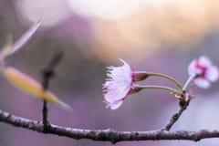 Prunus cerasoides, Sakura in Thailand. NSakura pink flower ,soft focus Royalty Free Stock Photo