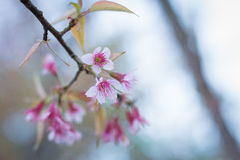 Prunus cerasoides, Sakura in Thailand.  Stock Photos