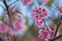 Prunus cerasoides, Sakura in Thailand. Soft Stock Images
