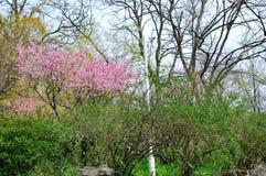 Prunus cerasoides Royalty Free Stock Photo