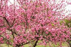 Prunus cerasoides Royalty Free Stock Photography
