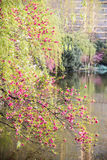 Prunus cerasoides Stock Photography