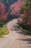 Prunus cerasoides way. This is a road and Prunus cerasoides. The road to the mountains royalty free stock photo