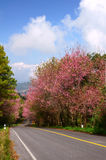 Prunus cerasoides way 2. This is a road and Prunus cerasoides. The road to the mountains stock photography