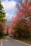 Prunus cerasoides way 3. This is a road and Prunus cerasoides. The road to the mountains stock images