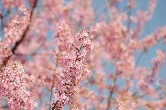 Prunus cerasoides Stock Photo