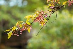 Prunus cerasoides of Wilde Himalayan-Kers stock fotografie