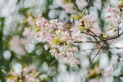 Prunus cerasoides flower suddenly blossomed with woods in the background. Prunus cerasoides, when winter is coming, it has blossomed into flower background Stock Photos